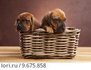 Купить «Puppies, wicker basket », фото № 9675858, снято 25 июня 2019 г. (c) PantherMedia / Фотобанк Лори