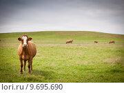 Купить «Cow grazing on a lovely green pasture», фото № 9695690, снято 19 сентября 2019 г. (c) PantherMedia / Фотобанк Лори