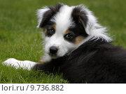 Купить «pet dog puppy aussie aussi», фото № 9736882, снято 21 февраля 2018 г. (c) PantherMedia / Фотобанк Лори