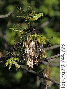 Купить «tree ash sperm baumfrucht fraxinus», фото № 9744778, снято 21 октября 2018 г. (c) PantherMedia / Фотобанк Лори