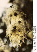 Купить «wither clematis vitalba echte waldrebe», фото № 9746262, снято 9 декабря 2018 г. (c) PantherMedia / Фотобанк Лори