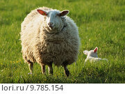 Купить «thoughtful sheep lamb responsibility welfare», фото № 9785154, снято 6 января 2019 г. (c) PantherMedia / Фотобанк Лори