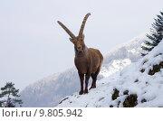 Купить «snow mountains alps ibexes capricorn», фото № 9805942, снято 19 января 2020 г. (c) PantherMedia / Фотобанк Лори