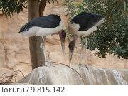 Купить «Marabou Storks: Love in the Wild», фото № 9815142, снято 22 октября 2018 г. (c) PantherMedia / Фотобанк Лори