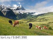 Купить «Cows in Alps, Switzerland», фото № 9841990, снято 19 сентября 2019 г. (c) PantherMedia / Фотобанк Лори