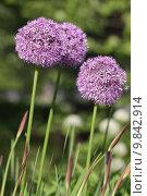 Купить «plant flower garden purple gardens», фото № 9842914, снято 15 октября 2018 г. (c) PantherMedia / Фотобанк Лори