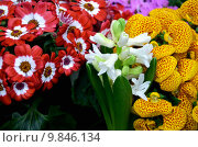 Купить «hyacinths balkonpflanze cinerarie decorative plant», фото № 9846134, снято 19 января 2019 г. (c) PantherMedia / Фотобанк Лори