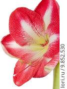 Купить «amaryllis close-up of a flower against a white background», фото № 9852530, снято 5 июня 2020 г. (c) PantherMedia / Фотобанк Лори