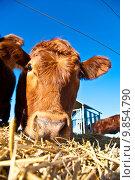 Купить «friendly cattle on straw with blue sky», фото № 9854790, снято 19 сентября 2019 г. (c) PantherMedia / Фотобанк Лори