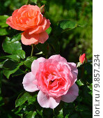 Роза грандифлора Свит Фрагранс (лат. Sweet Fragrance) (BAInce), Ping Lim США , 1991. Стоковое фото, фотограф lana1501 / Фотобанк Лори