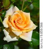 Купить «Роза чайно-гибридная Голден Моника (лат. Golden Monica), Rosen-Tantau 1988», эксклюзивное фото № 9859566, снято 14 августа 2015 г. (c) lana1501 / Фотобанк Лори