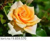 Купить «Роза чайно-гибридная Голден Моника (лат. Golden Monica), Rosen-Tantau 1988», эксклюзивное фото № 9859570, снято 14 августа 2015 г. (c) lana1501 / Фотобанк Лори