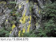 Купить «braid lichens plait gelbe leuchtflechte», фото № 9864670, снято 19 октября 2018 г. (c) PantherMedia / Фотобанк Лори
