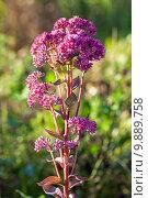 Купить «Очиток пурпурный в поле», фото № 9889758, снято 12 августа 2015 г. (c) Mike The / Фотобанк Лори