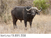 Купить «animal horizontal wild buffalo south», фото № 9891558, снято 24 января 2019 г. (c) PantherMedia / Фотобанк Лори