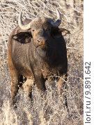 Купить «animal horizontal wild buffalo south», фото № 9891642, снято 22 октября 2018 г. (c) PantherMedia / Фотобанк Лори