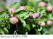 Купить «Яблоки на ветках», фото № 9911778, снято 27 июня 2015 г. (c) Наталья Быстрая / Фотобанк Лори