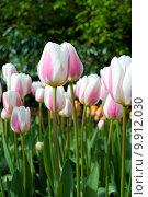 Купить «Яркие тюльпаны на клумбе», фото № 9912030, снято 29 апреля 2015 г. (c) Наталья Быстрая / Фотобанк Лори