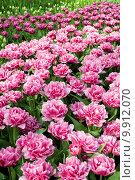 Купить «Цветущие тюльпаны на клумбе», фото № 9912070, снято 29 апреля 2015 г. (c) Наталья Быстрая / Фотобанк Лори