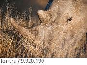 Купить «Grazing rhino up close», фото № 9920190, снято 19 сентября 2019 г. (c) PantherMedia / Фотобанк Лори