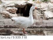 Купить «Goose or gander by lake», фото № 9939118, снято 23 июля 2019 г. (c) PantherMedia / Фотобанк Лори