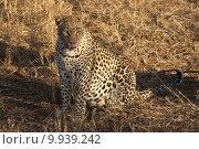 Купить «animal vertical wild africa cat», фото № 9939242, снято 22 октября 2018 г. (c) PantherMedia / Фотобанк Лори