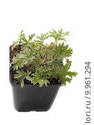 Купить «Pelargonium citronnellum», фото № 9961294, снято 19 января 2019 г. (c) PantherMedia / Фотобанк Лори