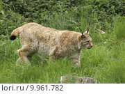 Купить «stealthy eurasischer luchs fleischfresser lynx», фото № 9961782, снято 23 марта 2019 г. (c) PantherMedia / Фотобанк Лори