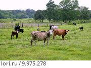 Купить «Cow cattle on american green grass», фото № 9975278, снято 25 апреля 2019 г. (c) PantherMedia / Фотобанк Лори