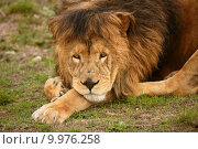 Купить «Beautiful Lion wild male animal portrait», фото № 9976258, снято 24 января 2019 г. (c) PantherMedia / Фотобанк Лори