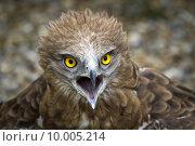 Купить «Toed Eagle. Circaetus gallicus», фото № 10005214, снято 27 мая 2018 г. (c) PantherMedia / Фотобанк Лори