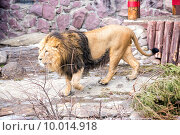 Купить «Лев идет по вольеру в зоопарке», фото № 10014918, снято 9 марта 2015 г. (c) Сергей Лаврентьев / Фотобанк Лори