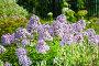 Флокс (Phlox). Группа цветущих растений на дачном участке, фото № 10028974, снято 14 августа 2014 г. (c) Евгений Мухортов / Фотобанк Лори