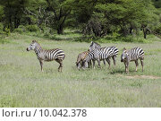 Купить «Two beautiful zebra in the grass - Serengeti - Tanzania», фото № 10042378, снято 25 апреля 2019 г. (c) PantherMedia / Фотобанк Лори