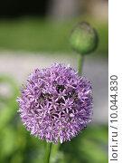 Купить «plant flower garden purple gardens», фото № 10044830, снято 15 октября 2018 г. (c) PantherMedia / Фотобанк Лори