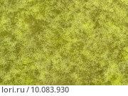 Купить «substrate algae slime chlorophyll wasseroberfl», фото № 10083930, снято 21 июля 2019 г. (c) PantherMedia / Фотобанк Лори