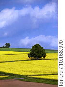 Купить «tree coleseed acre blauer himmel», фото № 10168970, снято 19 октября 2019 г. (c) PantherMedia / Фотобанк Лори