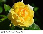 Купить «Роза чайно-гибридная Вандэ Глоб (лат. Vendee Globe), Francois Dorieux II (France, 2000), LAPERRIERE», эксклюзивное фото № 10172778, снято 11 августа 2015 г. (c) lana1501 / Фотобанк Лори