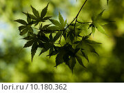 Купить «Sun Shining Through Japanese Maple Tree Canopy», фото № 10180362, снято 21 мая 2019 г. (c) PantherMedia / Фотобанк Лори