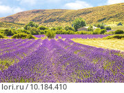 Купить «Lavender in Provence», фото № 10184410, снято 16 декабря 2017 г. (c) PantherMedia / Фотобанк Лори