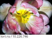Купить «Pink White Frilly Tulip Flower Skagit Valley Washington State», фото № 10226746, снято 18 января 2018 г. (c) PantherMedia / Фотобанк Лори