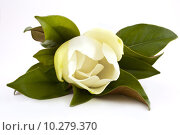 Купить «white magnolia», фото № 10279370, снято 24 января 2019 г. (c) PantherMedia / Фотобанк Лори