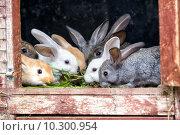 Купить «Несколько кроликов в клетке на ферме», фото № 10300954, снято 16 августа 2015 г. (c) Сергей Лаврентьев / Фотобанк Лори