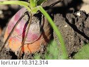 Купить «red garden vegetable eco carrot», фото № 10312314, снято 5 июля 2020 г. (c) PantherMedia / Фотобанк Лори