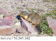 Купить «Колумбийский суслик  (Urocitellus columbianus). Национальный парк Глейшер (англ. Glacier National Park), штат Монтана, США», фото № 10341342, снято 2 августа 2015 г. (c) Ирина Кожемякина / Фотобанк Лори