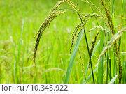 Купить «nature plant rice reiskorn reispflanze», фото № 10345922, снято 22 июля 2019 г. (c) PantherMedia / Фотобанк Лори