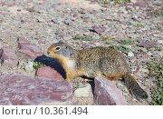 Купить «Колумбийский суслик  (Urocitellus columbianus). Национальный парк Глейшер (англ. Glacier National Park), штат Монтана, США», фото № 10361494, снято 2 августа 2015 г. (c) Ирина Кожемякина / Фотобанк Лори
