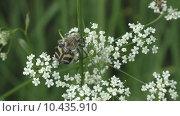 Купить «Жук- Восковик перевязанный или пестряк полосатый ( лат. Trichius fasciatus,  англ.   Bee beetle)», видеоролик № 10435910, снято 20 августа 2015 г. (c) Звездочка ясная / Фотобанк Лори