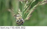 Купить «Жук- Восковик перевязанный или пестряк полосатый ( лат. Trichius fasciatus, англ.   Bee beetle)», видеоролик № 10439302, снято 20 августа 2015 г. (c) Звездочка ясная / Фотобанк Лори