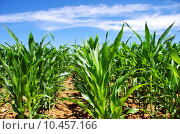 Купить «Green cornfield at south of Portugal», фото № 10457166, снято 19 октября 2018 г. (c) PantherMedia / Фотобанк Лори
